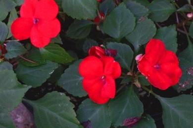 бальзамин с простой формой цветка