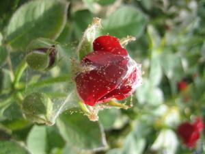 как избавиться от паутинного клеща на комнатной розы