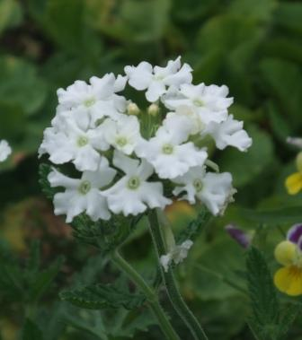 цветок вербена белая сор Кристалл