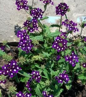сорт гибридной вербены Amore violett