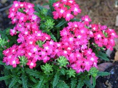 Вербена цветок