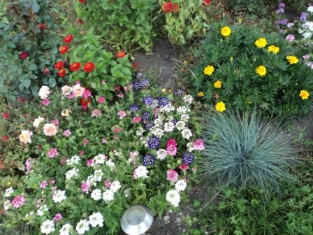вербена в саду