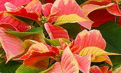 Peterstar-Marble оранжево-красные прицветники сорта