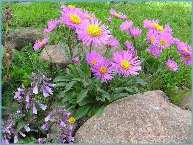 неприхотливое растение для альпийской горки