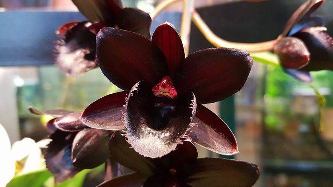 Черна орхидея цветет в Ботанического сада
