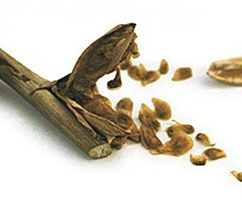 семена гладиолуса мелкие