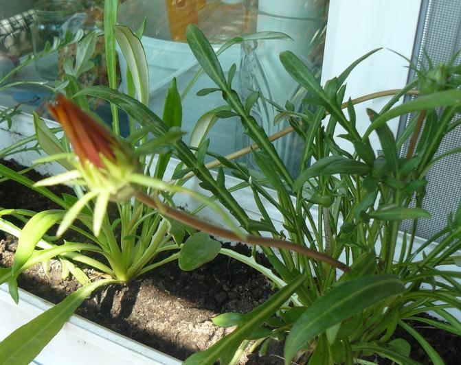 выращивание газания в домашних условиях