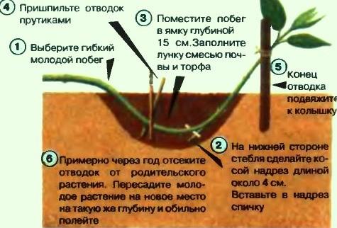 размножение древовидного пиона отводками