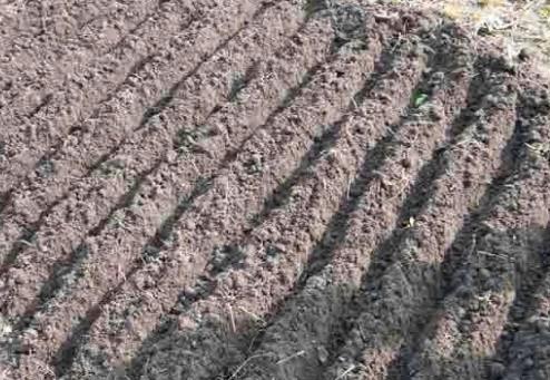 расстояние между рядами севка 20 см