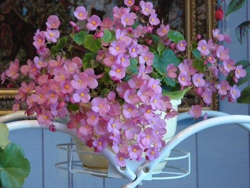 бегония радует своим цветением почти круглый год