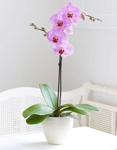 величесвтенная красавица орхидея требует много внимания