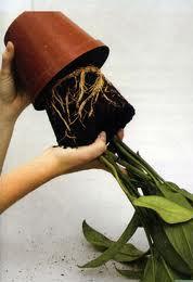 как вынуть цветок из старого горшка