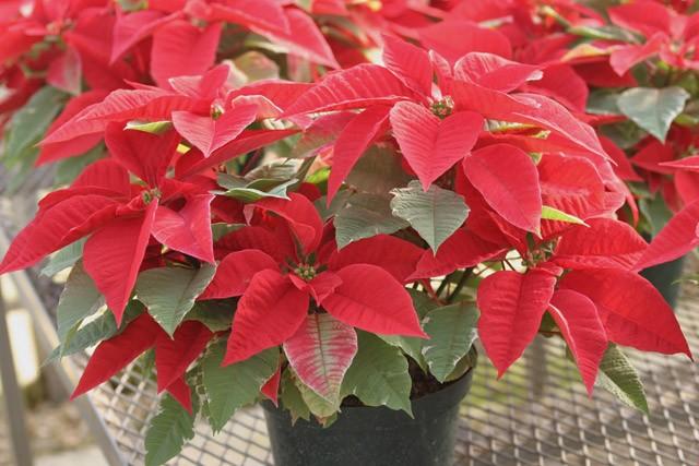 пуансетия, она же молочай прекраснейший, она же Рожденственская звезда