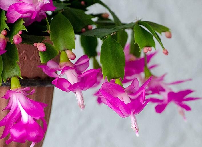 Разнообразию расцветок шлюмбергеры можно удивляться