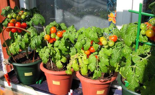 вырастить помидоры на окне зимой