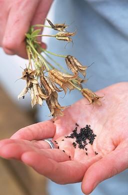 размножение аквилегии семенами