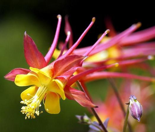 Аквилегия Скинера с желто-красными цветками