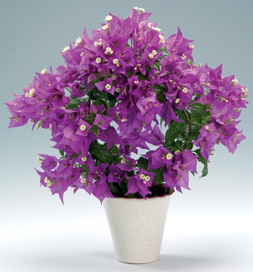 комнатное растение цветущее на южном окне