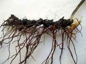 размножение аконита корями черенками семенами