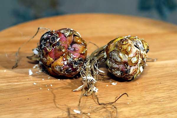 луковицы лилий для выгонки