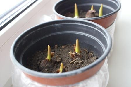 Луковицы тюльпаномполностью не засыпаются