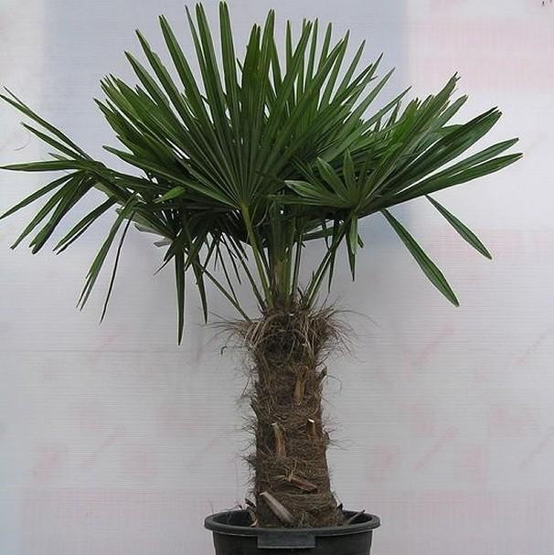 Комнатное растение - комнатная пальма