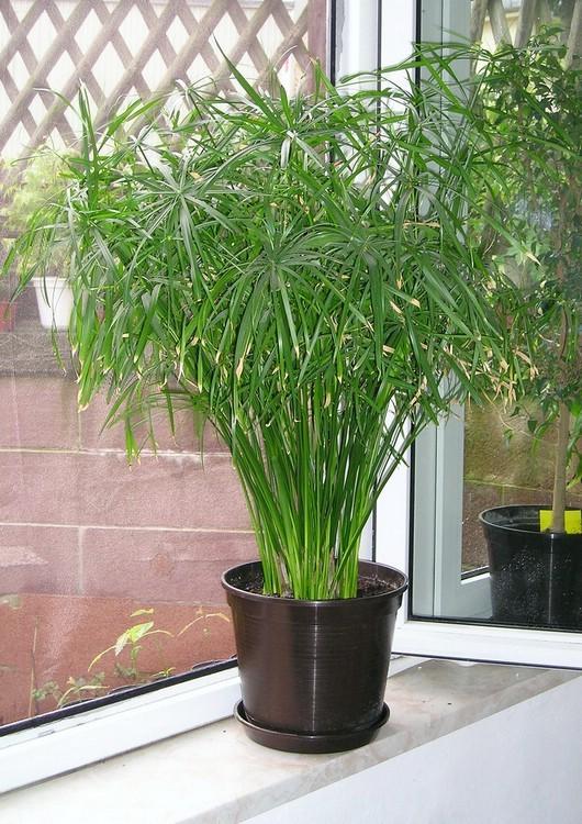 декоративно лиственное растение для южного окна