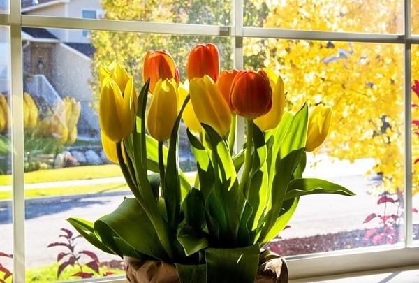 выгонка тюльпанов дома