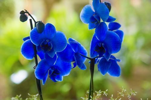 голубую орхидею вывели японцы