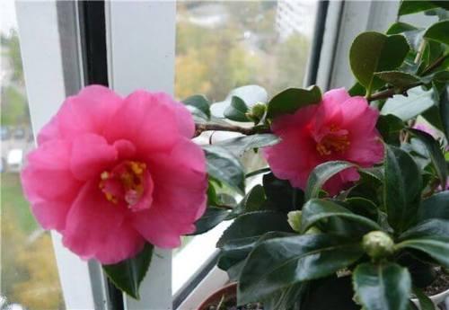 красивоцветущее комнатное растение -камелия японская