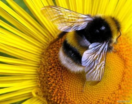 Шмель как и пчела опыляетцветки растений