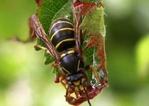 защищает растения поедая тлю