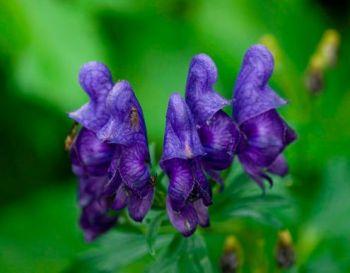 аконит красивоцветущее ядовиое растение