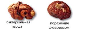 Сырая земля и осенний холод ведет к заболеванию луковиц
