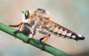 насекомое энтомофанг  кк средство биологической защиты растений