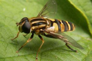 личинка мухи журчалкаи съедает до 2000 тлей
