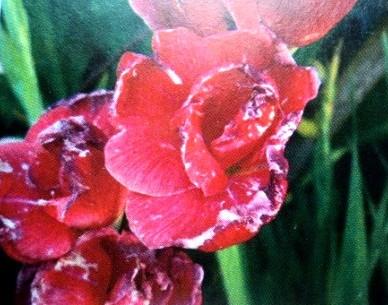 цветок поврежденный трипсами