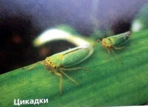 вредители гладиолусов -цикадки