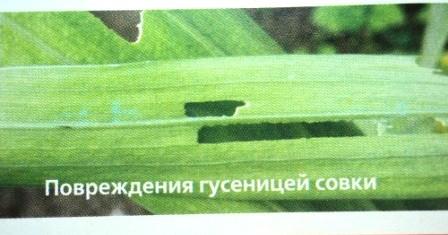листья поврежденные соками