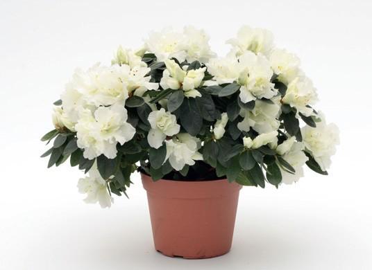 Снежно белые цветки азалии напомнают невесту