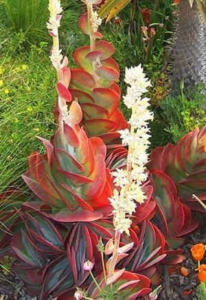 красивейшее растение из семейства каланхое – вид лусиа