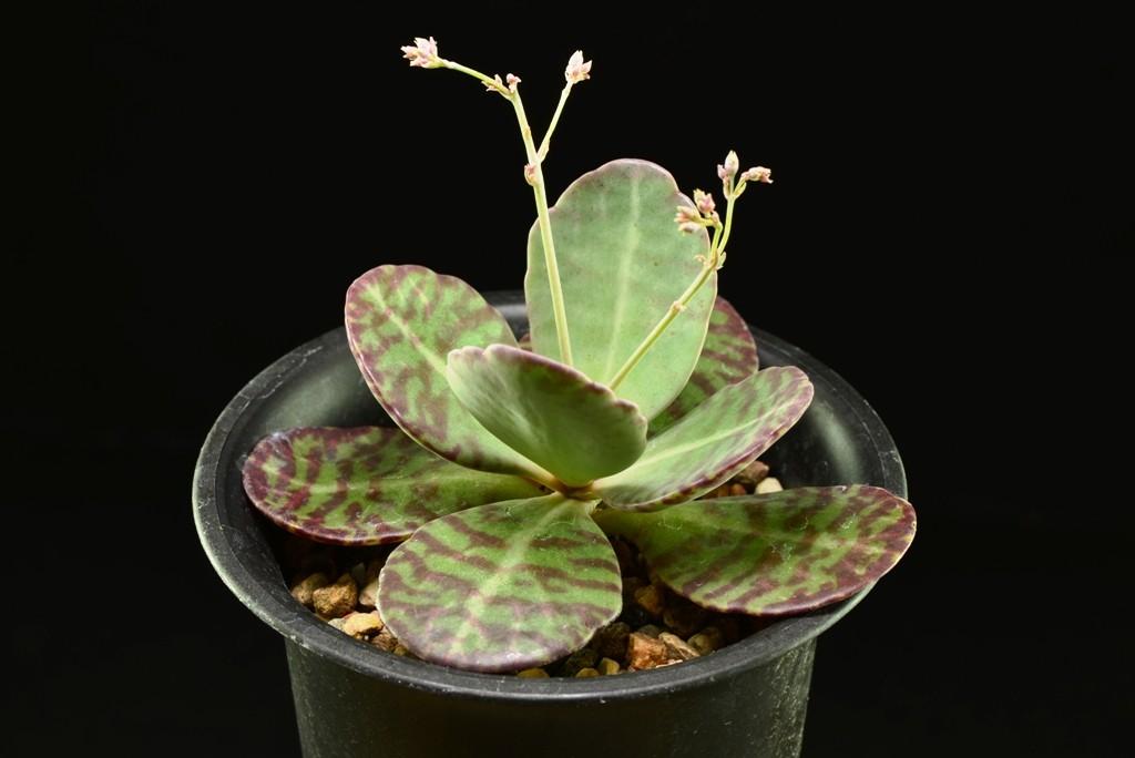 Листья бехарскогокаланхое отличаюются гналичием коричневых полос на листьях