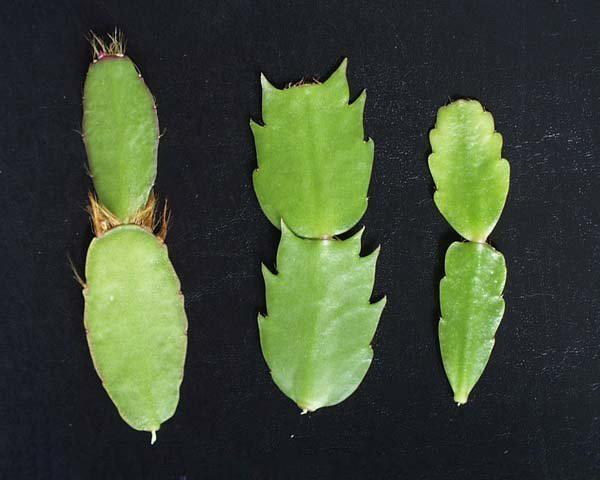 размножение зигокактуса зелеными черенками