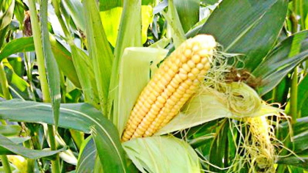 выращивание кукурузы на огороде