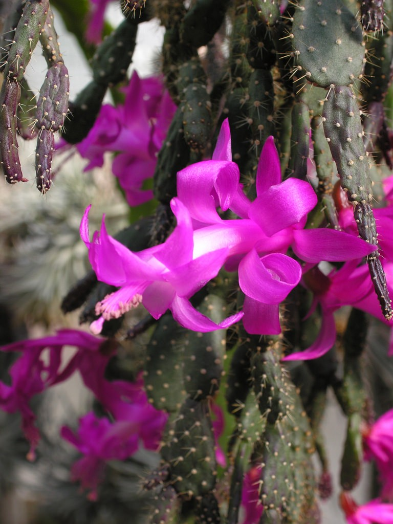 Шлюмбергера опунциевидная разительно отличается от других видов своими листьями