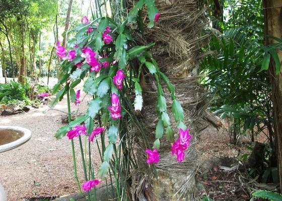 В дикой природе почвой для шлюмбергеры служит кора дерева
