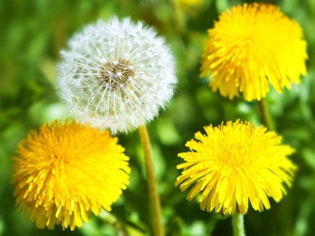 Одуванчик обыкновенный прлезное растение