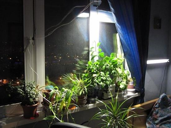 Зимой каланхое треюует подсветки