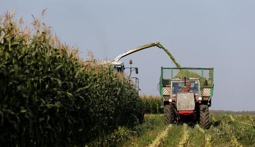 уборка кукурузы для приготовления силоса
