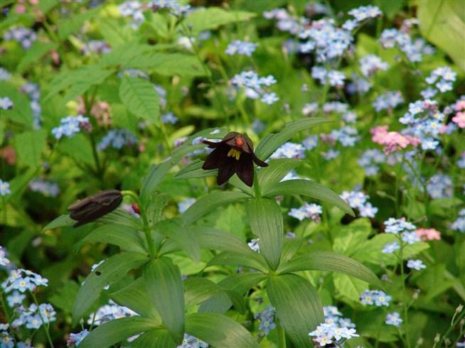 Фритиллярия качатская отличается формой цветка и его окраской